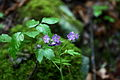 Wildflowers-spring-forest - West Virginia - ForestWander.jpg