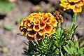 Wildflowers - Tagetes - Ringelblume - flowers in spring - flowers in summer.jpg