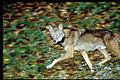 Wolf at night.jpg