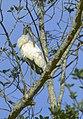 Wood Stork - Florida - USA 04 0003 (15231715488) (2).jpg