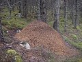 Wood ant hill - geograph.org.uk - 559435.jpg