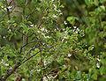 Wrightia tinctoria in Keesaraguda, AP W IMG 9079.jpg