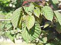 Wzwz tree 08c Davidia involucrata var. vilmoriniana.jpg