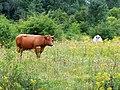 Xanten, Niederrhein, Kuh im Naturschutzgebiet -- 2015 -- Tiere.jpg