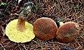 Xerocomus ferrugineus 578086.jpg