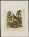 Xiphorhynchus procurvus - 1838 - Print - Iconographia Zoologica - Special Collections University of Amsterdam - UBA01 IZ19200249.tif