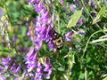Xylocopa-Miner bee on wildflower.JPG