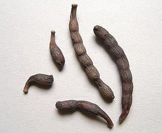 Grains of Selim - Grains of Selim seed pods
