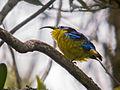 Yellow-bellied Sunbird Asity (Neodrepanis hypoxantha), Ranomafana National Park, Madagascar.jpg