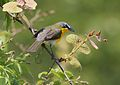 Yellow-breasted Chat 1.jpg