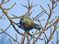 Yellow-footed green pigeon 04.jpg