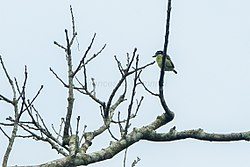 Yellow-throated Tinkerbird - Ghana S4E1770 (16407715162).jpg