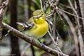 Yellow-throated Vireo Sabine Woods TX 2018-04-21 12-17-15 (40165068590).jpg