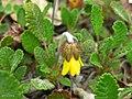 Yellow Dryad (3815981059).jpg
