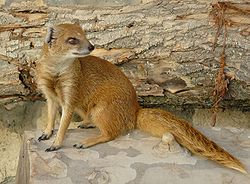 Yellow Mongoose.JPG