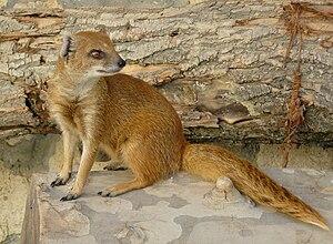 Black mamba - The yellow mongoose preys on black mambas.