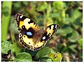 Yellow Pansy Female (16749430285).jpg