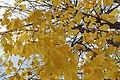 Yellow leaves on Tree, Auvergne.jpg