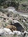 Yellowstone dead bison.jpg
