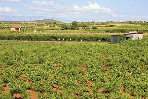 Stari Grad, Croatia - Young grape vines in Stari Grad