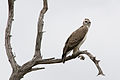 Young Martial Eagle 2349671554.jpg