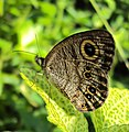 Ypthima baldus - Common Five-ring 01.JPG