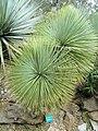 Yucca linearifolia - Jardin d'oiseaux tropicaux - DSC04883.JPG