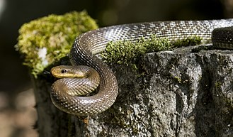 Aesculapian snake - Adult Z. longissimus from the region of Ticino, Switzerland.