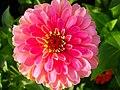 Zinnia Flowers گل آهاری 15.jpg