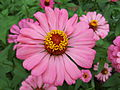 Zinnia from Lalbagh Flowershow - August 2012 101346.jpg