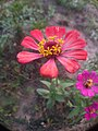 Zinnia single layer and 8 Petals faded red.jpg