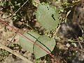 Zizyphus rugosa (4356169430).jpg