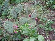 180px-Zmiiski_ostrov_kaktusi.jpg