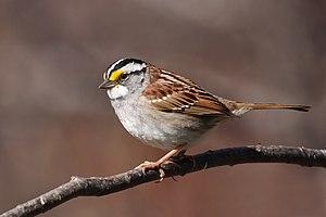 White-throated sparrow - White-throated sparrow in Cap Tourmente National Wildlife Area, Quebec, Canada