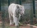 Zoo des 3 vallées - Tigre blanc - 2015-01-02 - i3422.jpg