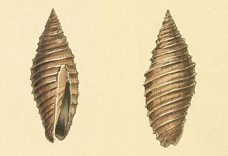 <i>Subcancilla sulcata</i> species of mollusc