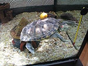 English: My turtle ZuZu(red slider) taking my ...