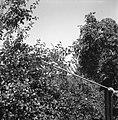 """""""Oberaun?k"""" (obiralnik) za sadje, Hrastno 1961 (2).jpg"""