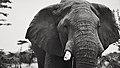 """""""Watching at you"""" @ Masai Mara (21952973594).jpg"""