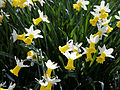 'Narcissus Jack Snipe' at Capel Manor Gardens Enfield London England.jpg