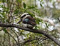(1)Kookaburra Lane Cove River.jpg