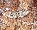 (1853) Oak-tree Pug (Eupithecia dodoneata) (36095512596).jpg