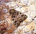 (2166) The Campion (Sideridis rivularis) (34715819531).jpg