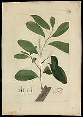 (Proteaceae)