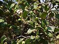 ¿ Atalantia racemosa ? (6841539735).jpg