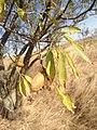 Бадем (дърво) 2.jpg