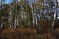 Березки - panoramio (1).jpg