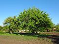 Дерево культурної груші.JPG