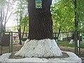 Дуб на Петропавлівській, м. Суми.JPG