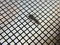 Комар на москитной сетке 2.jpg